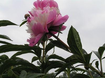 NOP_Fleur