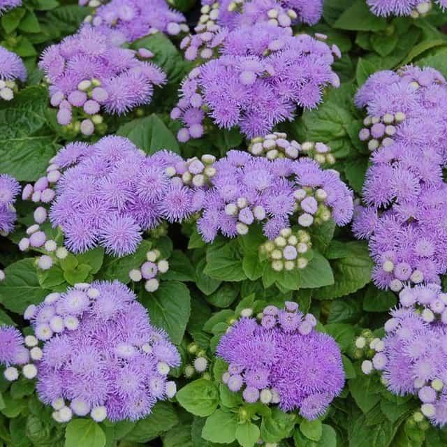 summerflowers-soorten-Ageratum