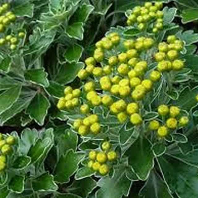 summerflowers-soorten-Ajania
