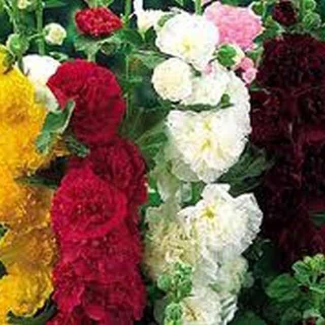 summerflowers-soorten-Alcea
