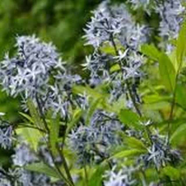 summerflowers-soorten-Amsonia
