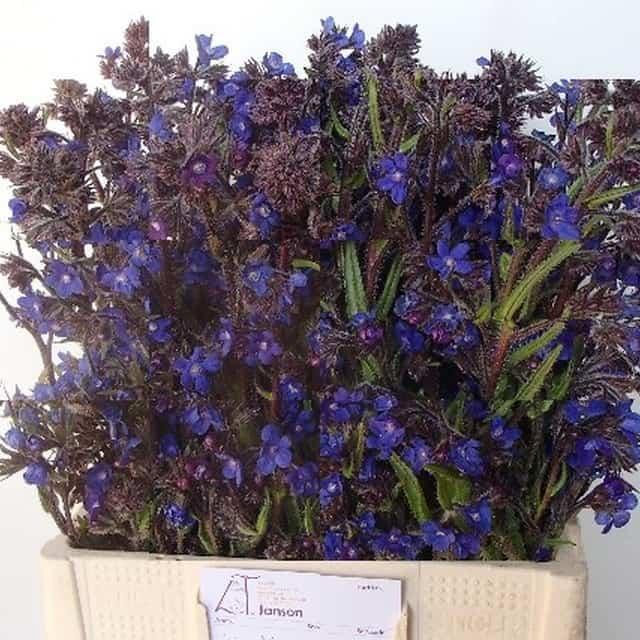 summerflowers-soorten-Anchusa