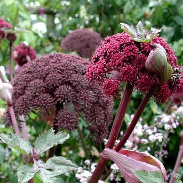 summerflowers-soorten-Angelica
