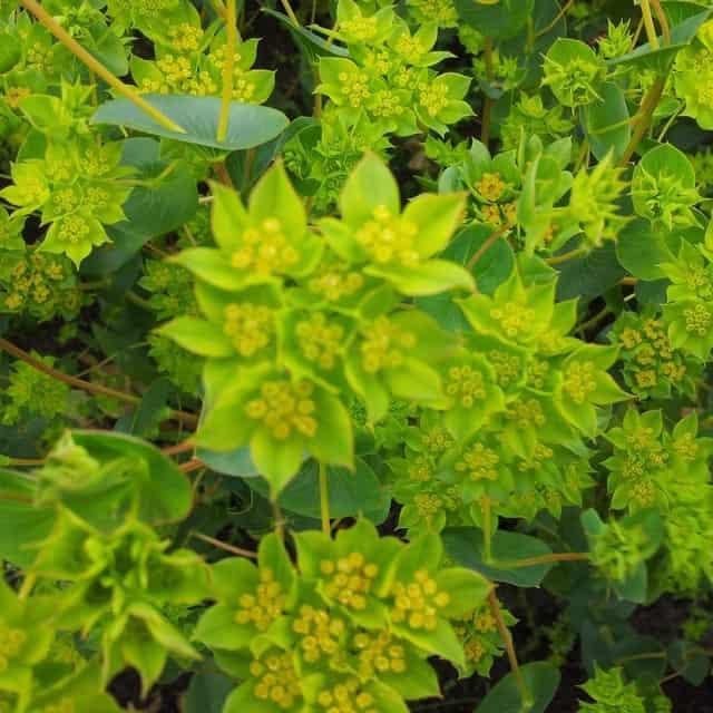 summerflowers-soorten-Bupleurum