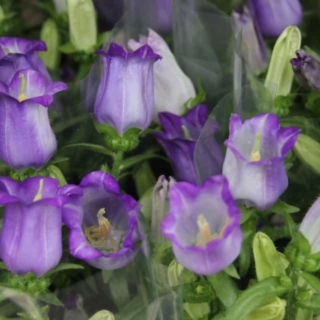 summerflowers-soorten-Campanula