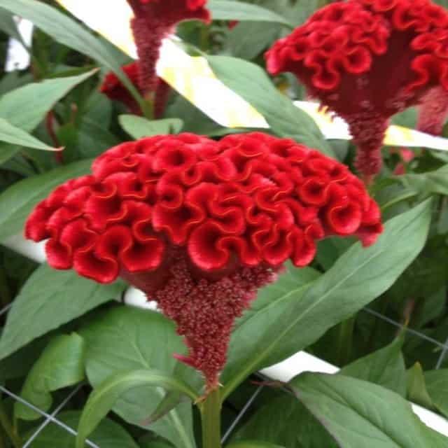 summerflowers-soorten-Celosia