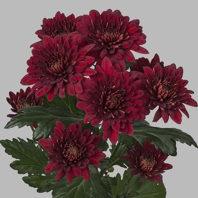summerflowers-soorten-Chrysant