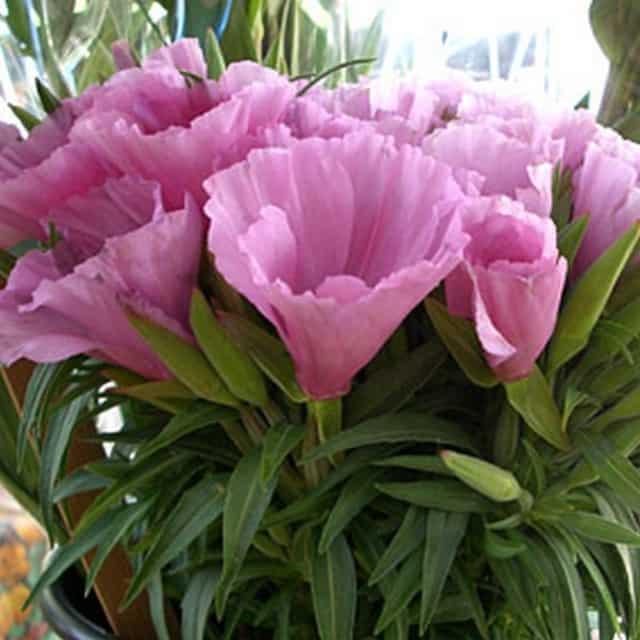 summerflowers-soorten-Clarkia
