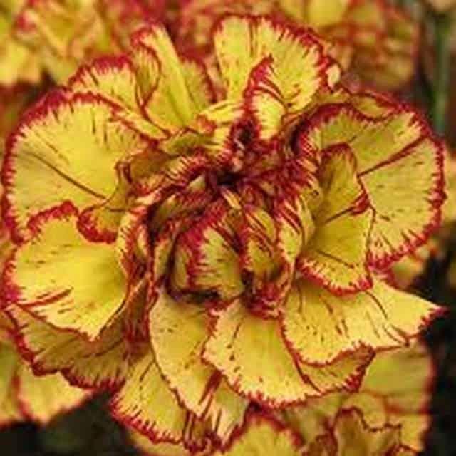 summerflowers-soorten-Dianthus-Standaard