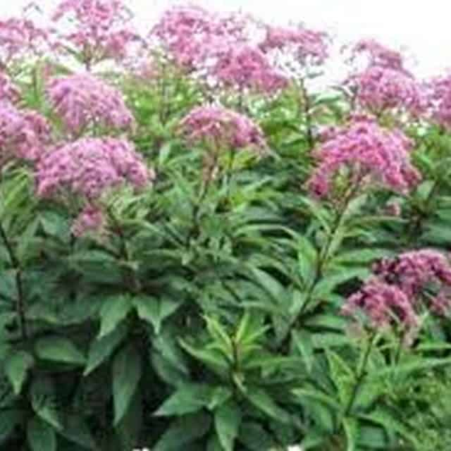 summerflowers-soorten-Eupatorium