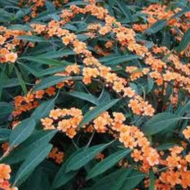 summerflowers-soorten-Euphorbia_fulgens