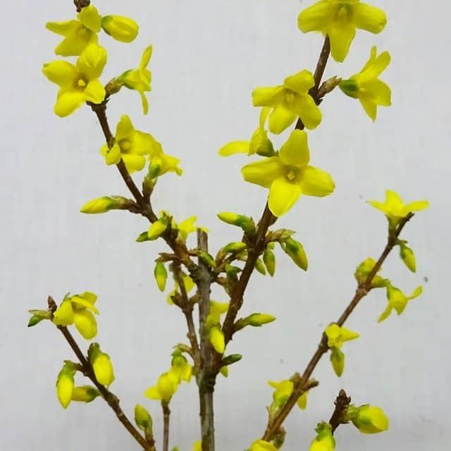 summerflowers-soorten-Forsythia