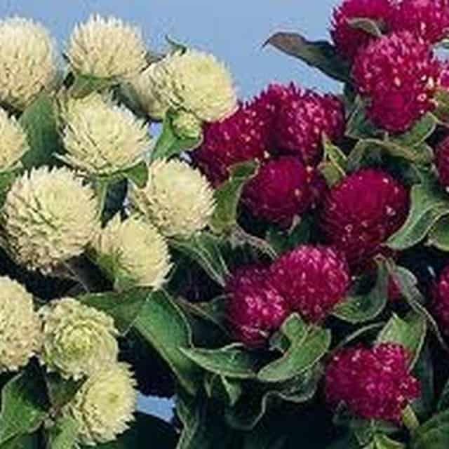 summerflowers-soorten-Gomphrena