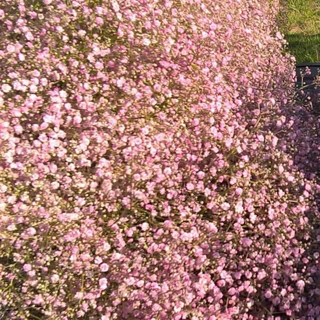 summerflowers-soorten-Gypsophila