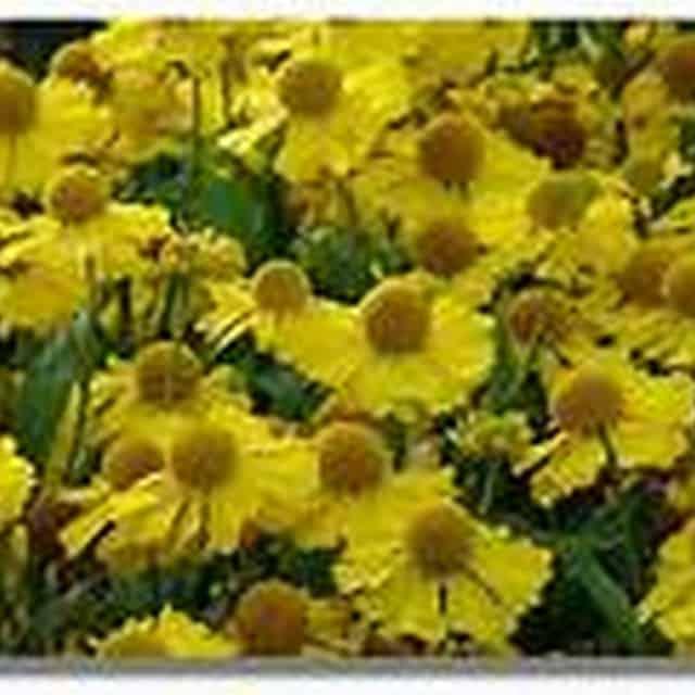 summerflowers-soorten-Helenium