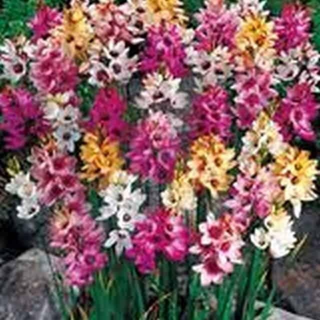 summerflowers-soorten-Ixia