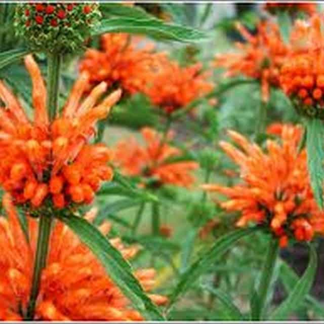 summerflowers-soorten-Leonotis