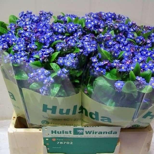 summerflowers-soorten-Myosotis
