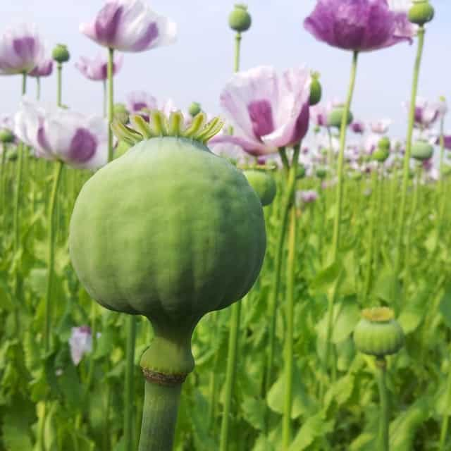 summerflowers-soorten-Papaver