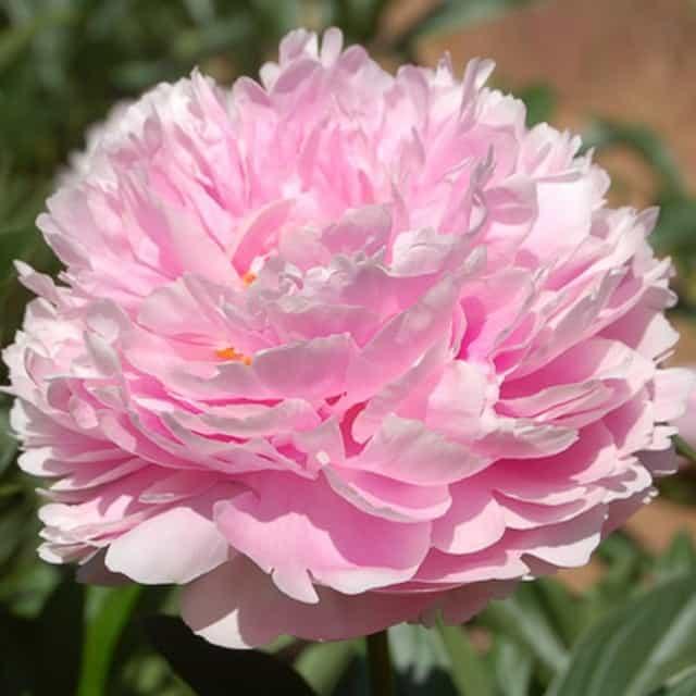 summerflowers-soorten-Pioen