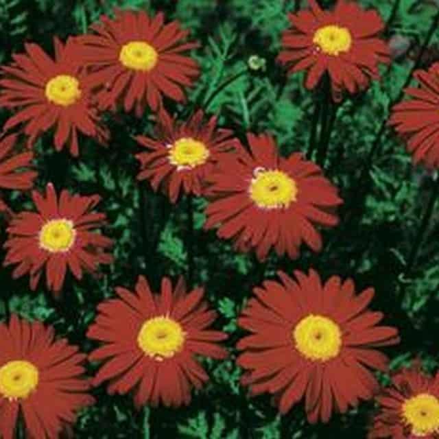 summerflowers-soorten-Pyrethrum
