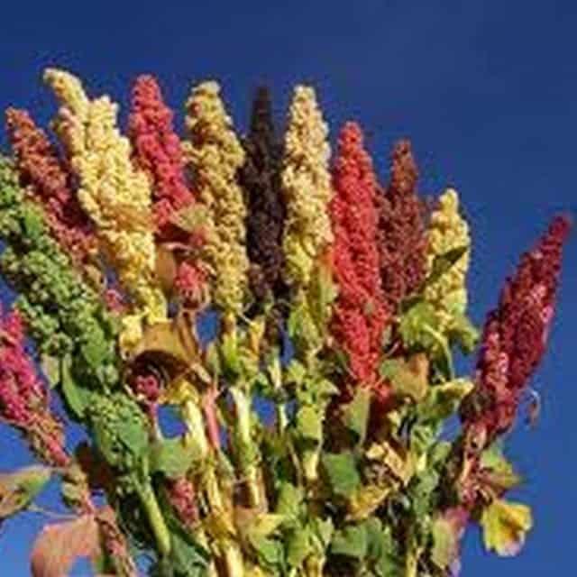 summerflowers-soorten-Quinoa
