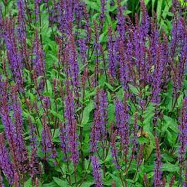 summerflowers-soorten-Salvia