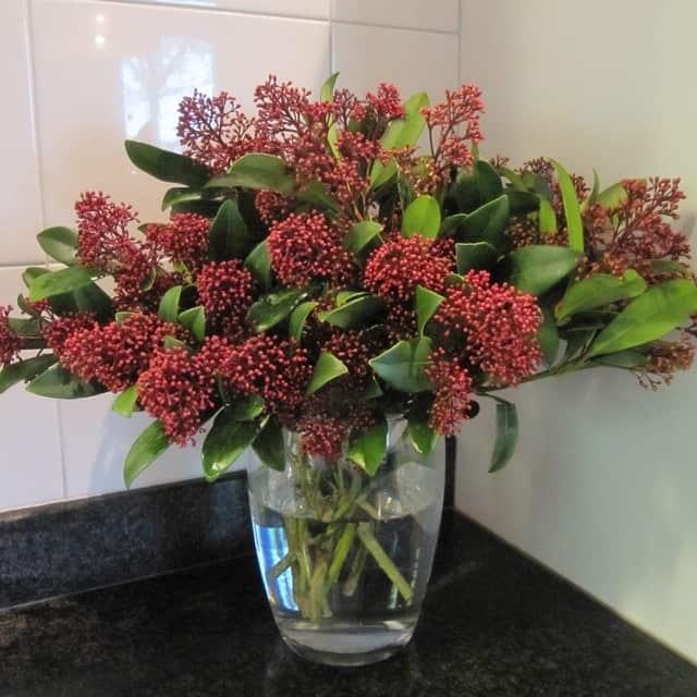 summerflowers-soorten-Skimmia