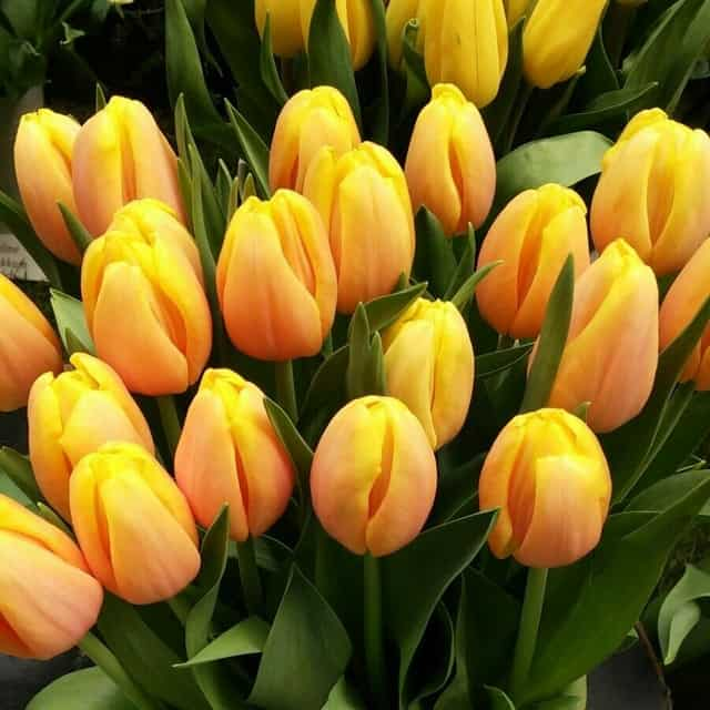 summerflowers-soorten-Tulipa