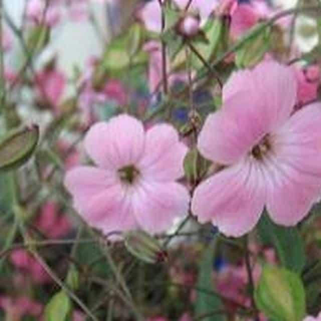 summerflowers-soorten-Vaccaria