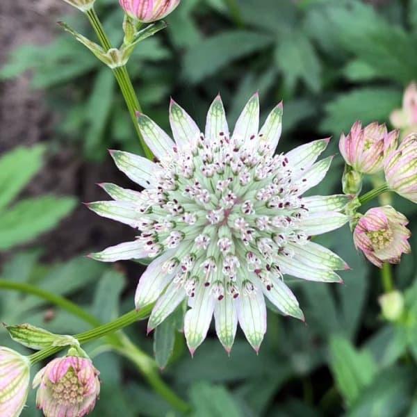 Summerflowers_Soorten_Astrantia