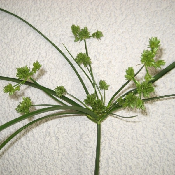Summerflowers_Soorten_Cyperus