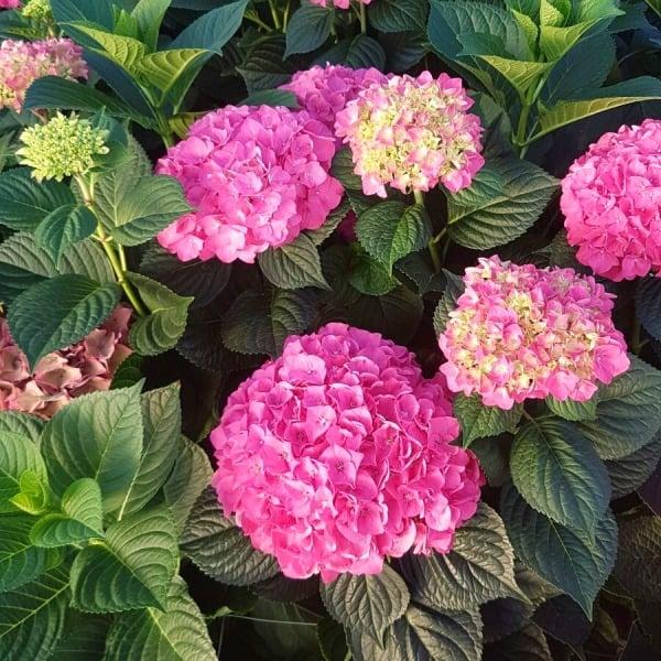 Summerflowers_Soorten_Hortentia