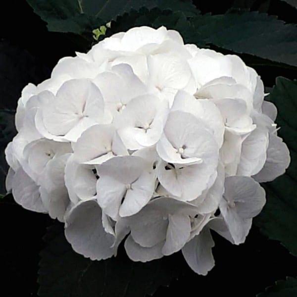 Summerflowers_Soorten_Hydrangea