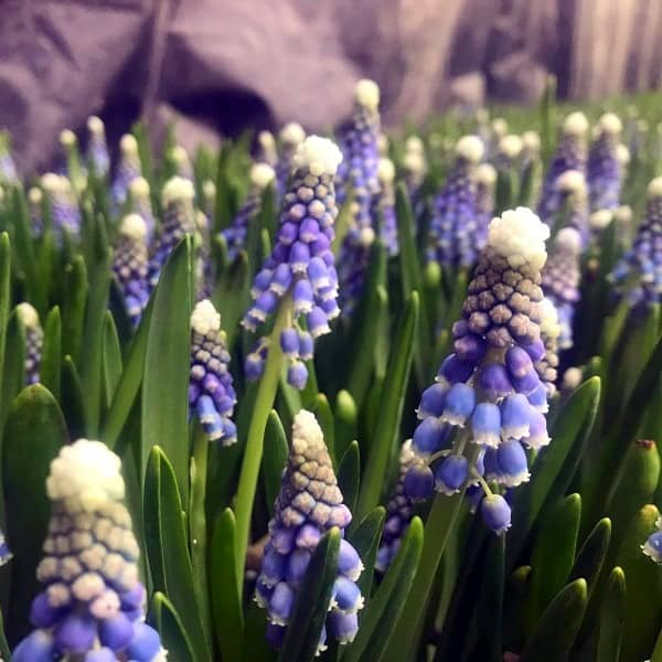Summerflowers_Soorten_Muscari