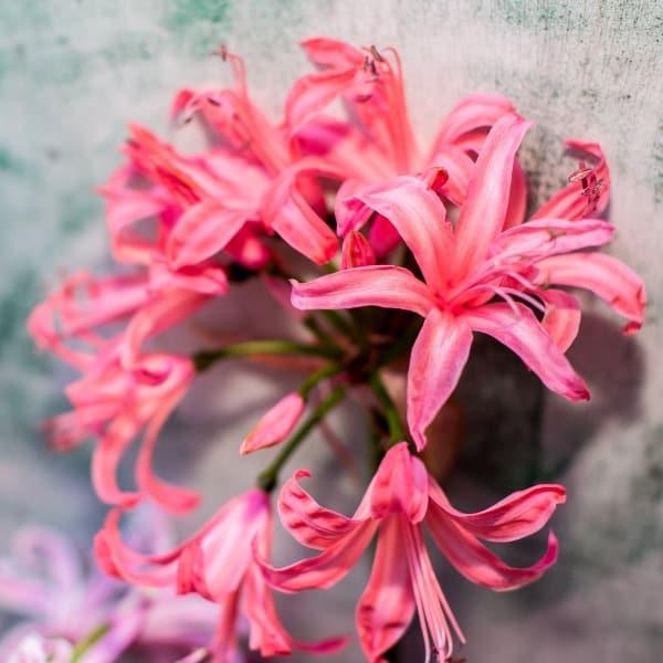 Summerflowers_Soorten_Nerine
