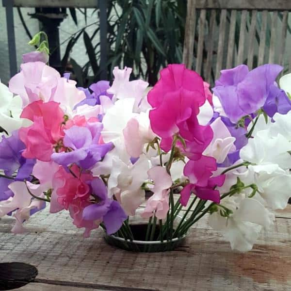 summerflowers_lathyrus