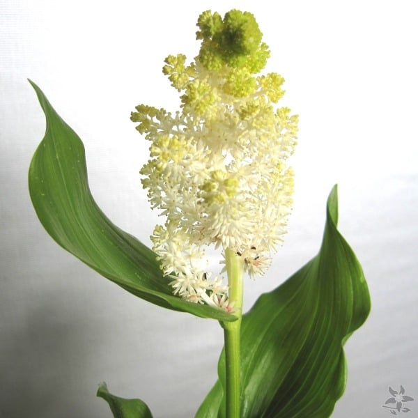 Summerflowers_soorten_Smilacina