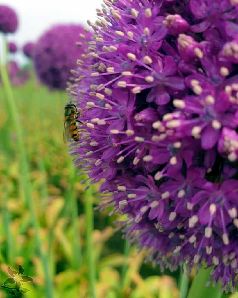 Summerflowers_Kwekers_Gebr_Hoogeveen_Allium