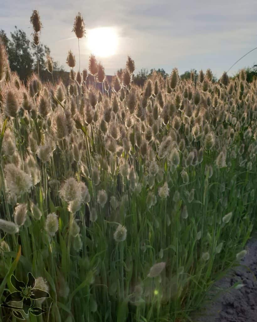 Summerflowers_Kwekers_Gebr_Hoogeveen_Lagurus2